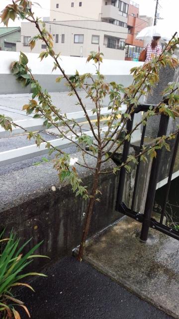 佐倉の桜 H28.4② (360x640)